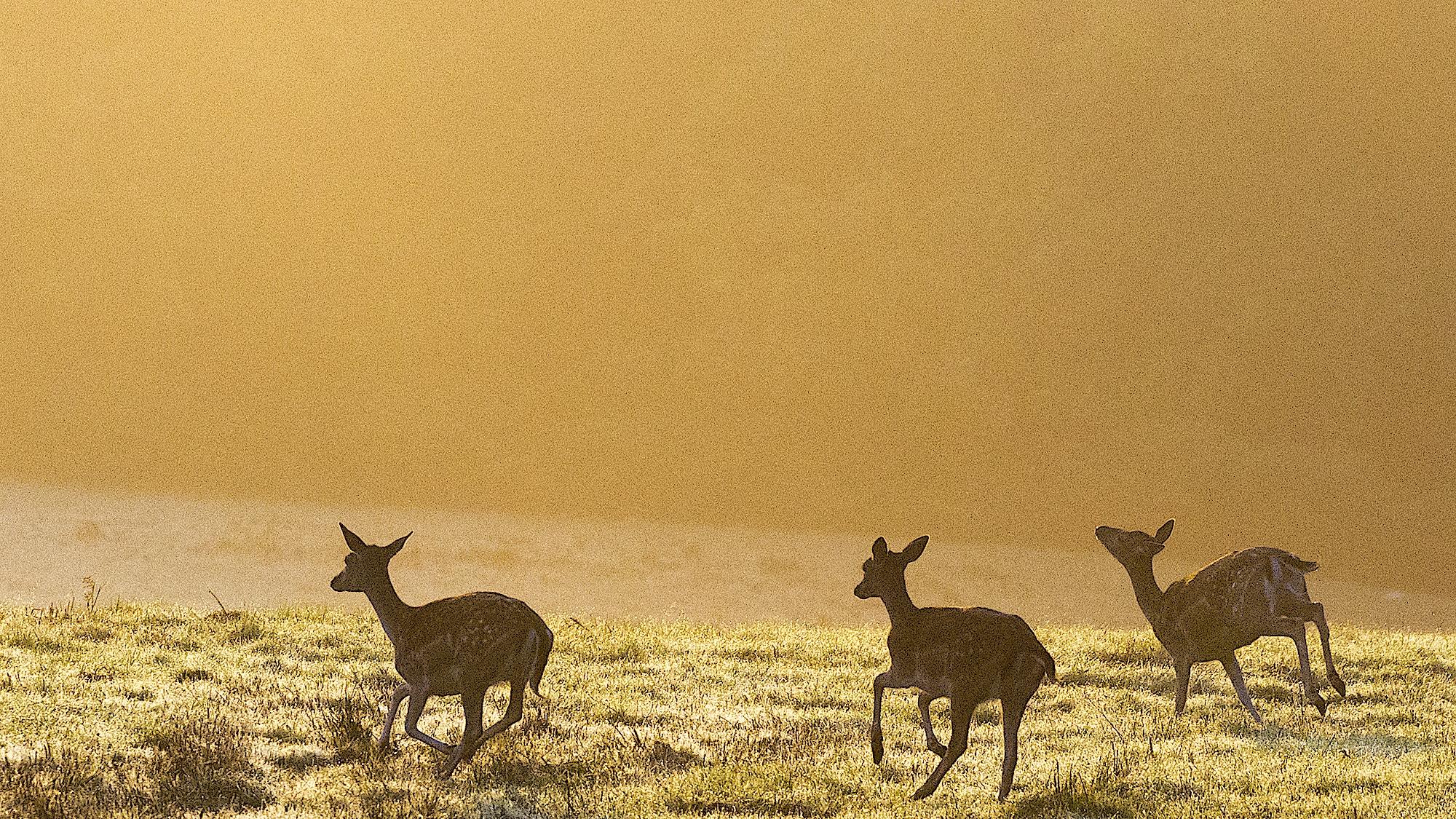 00019710 Fallow deer by James Warwick Wild Screen