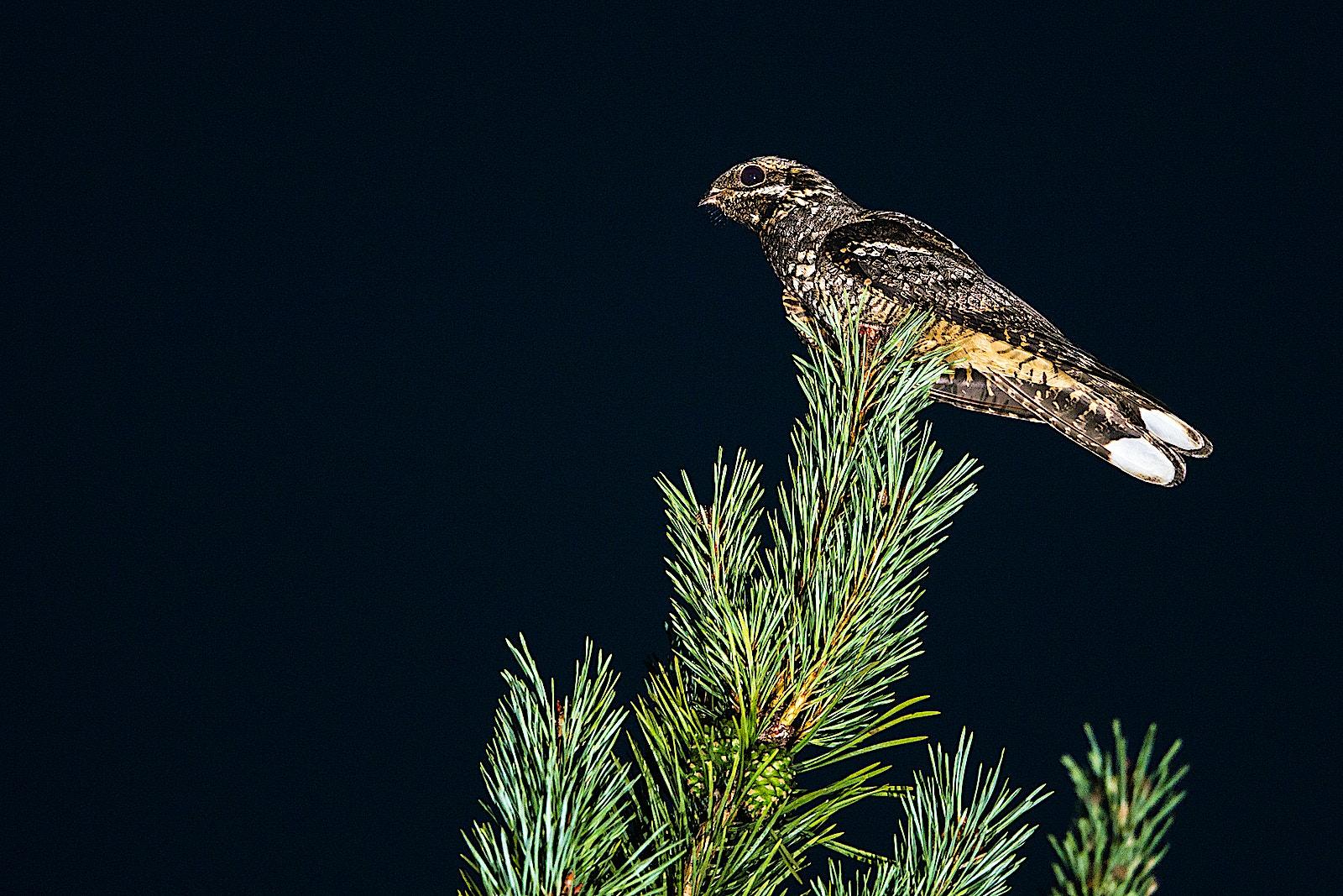 00022723 European nightjar Caprimulgus europaeus male on Scots pine Pinus sylvestris at night Ashdown Forest Sussex England James Warwick Wildscreen