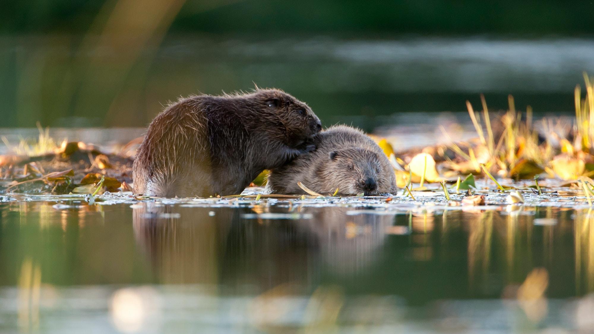 0048pprice beaverbeaver 2892 credit scotlandbigpicture com