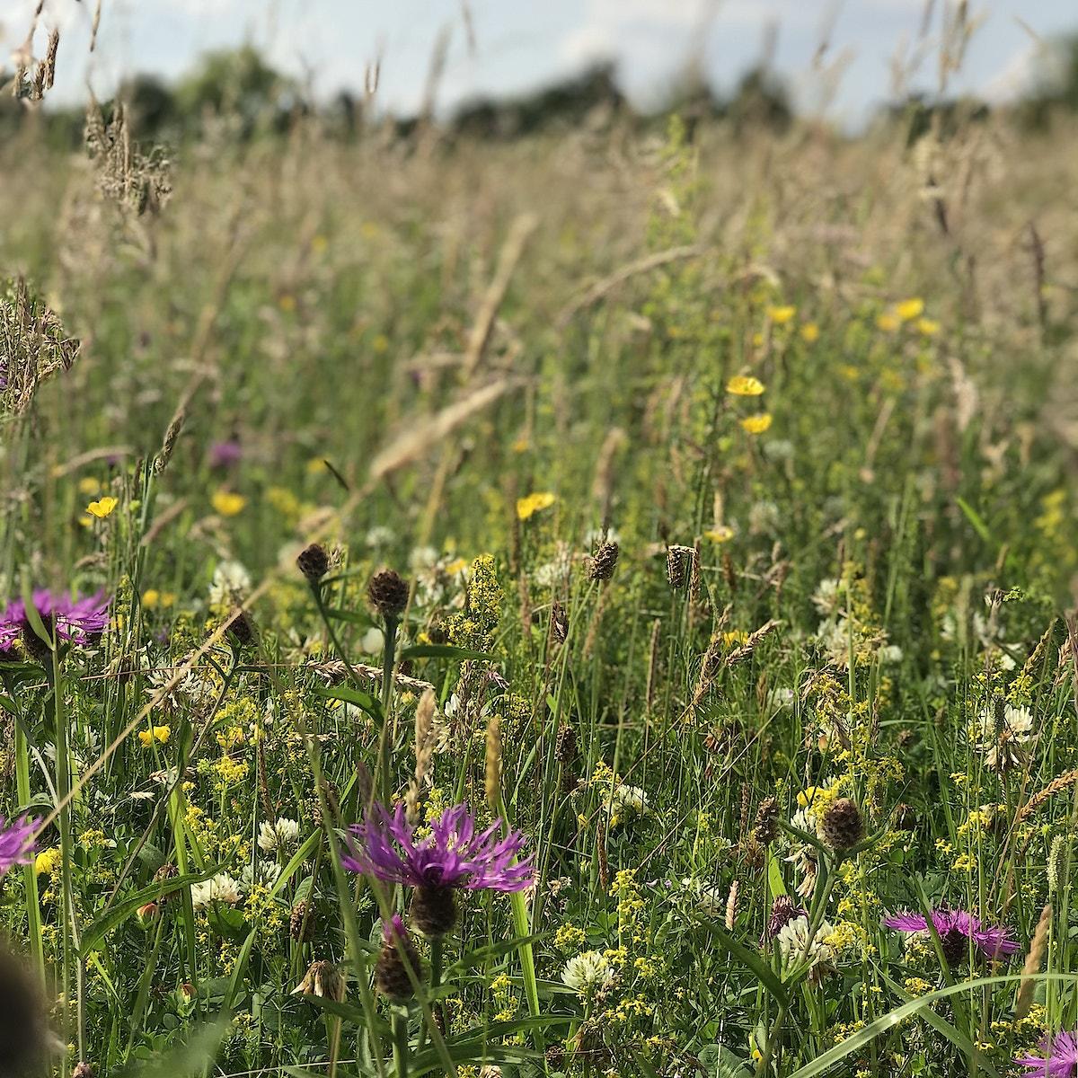 1 wildflower measow
