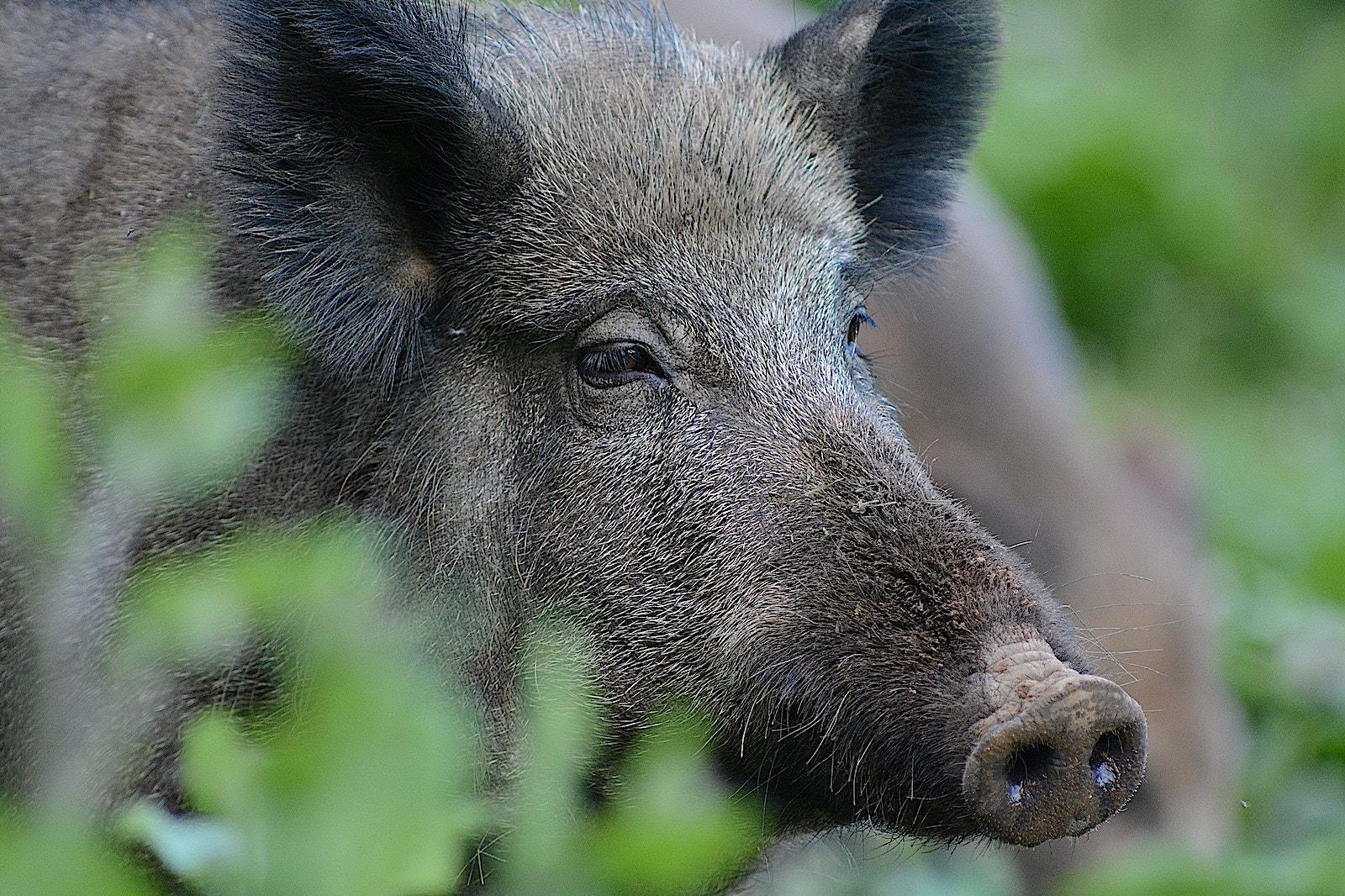 10 wild boar WS 1