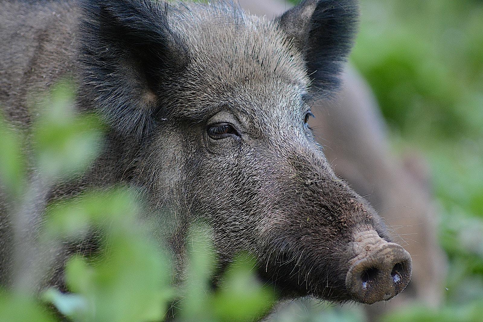 10 wild boar WS