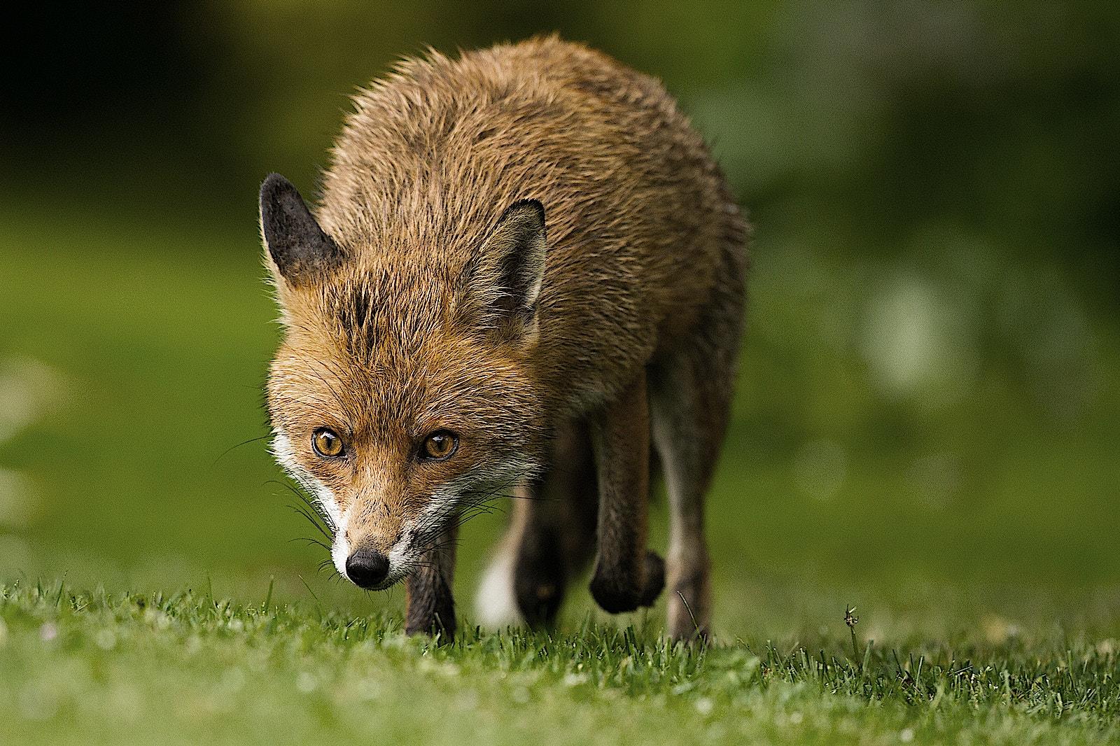 14 fox SS