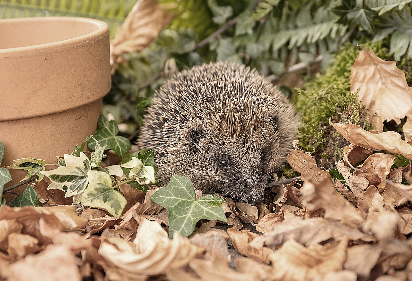 2 Hedgehog SS