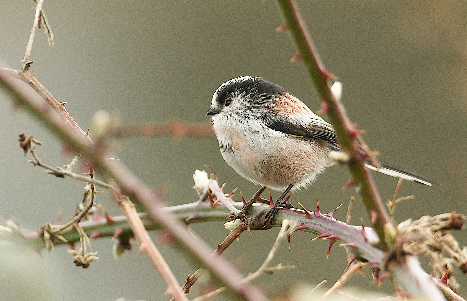 8 long tailed tit scrub SS