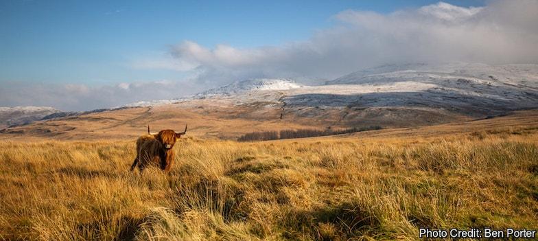 A highland cow in Pumlumon
