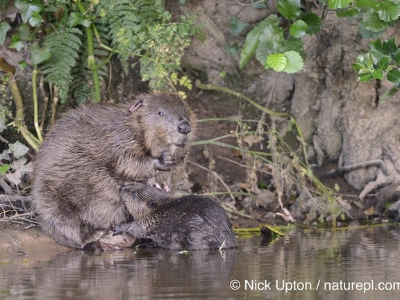 Beaver and kit photo by Nick Upton naturepl com ce419d8d74fab983b43815692c12222a