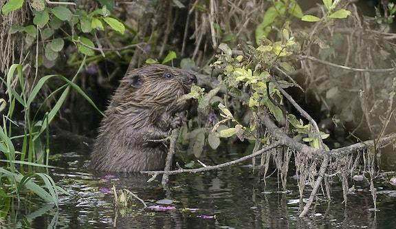 Beaver kit nibbling willow 96828a809ca06b6cd90987826c9b561a