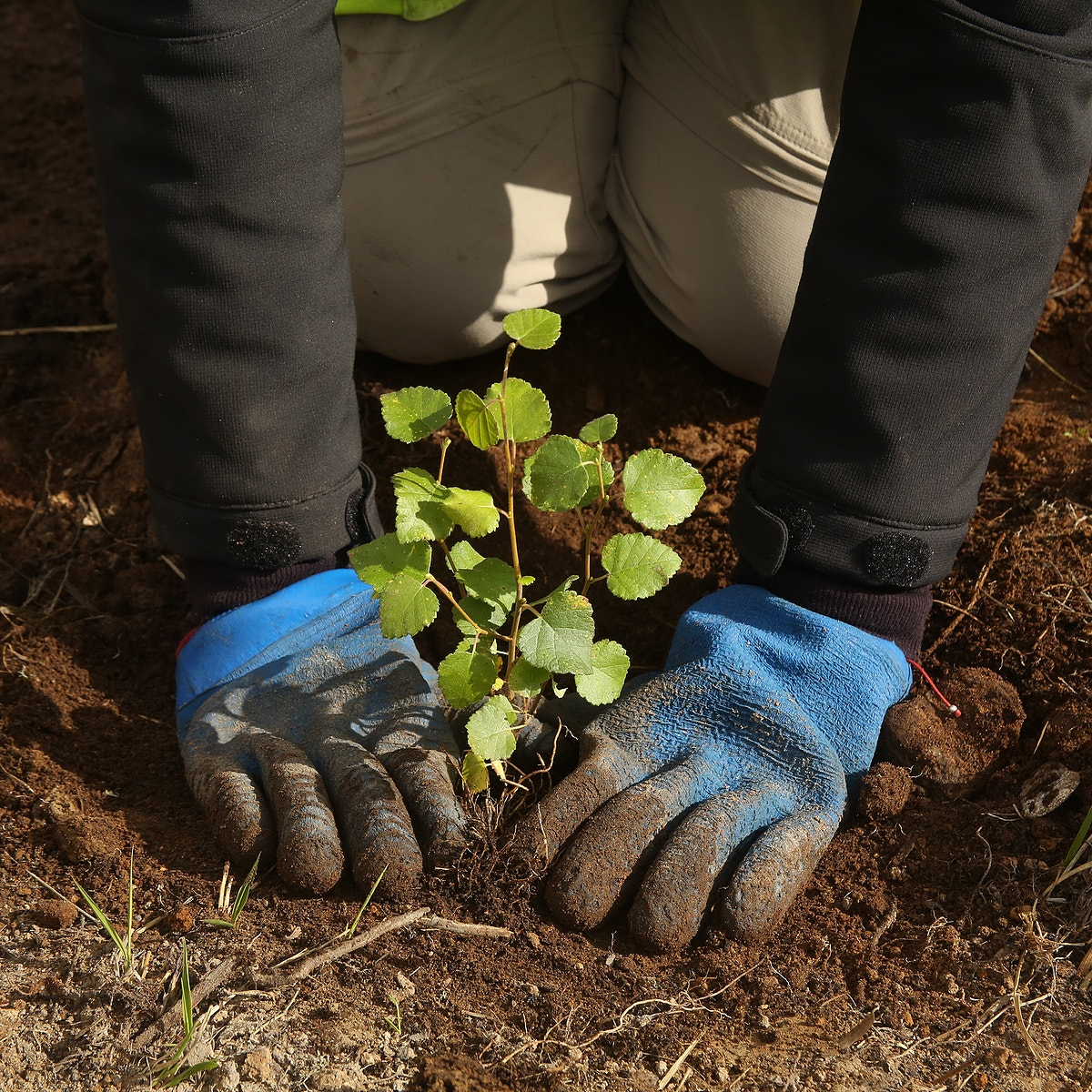 Birch tree being planted c Trees for Life