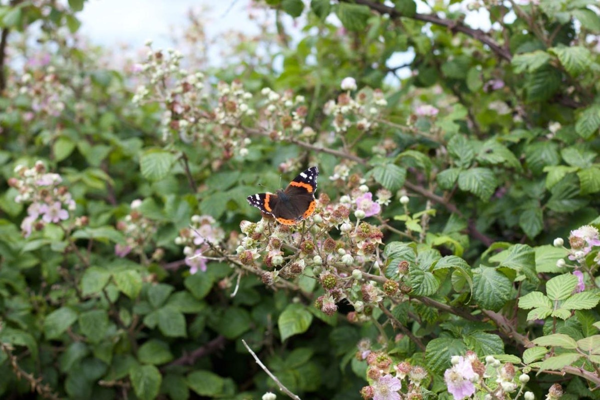 Butterfly on Bramble William Buist