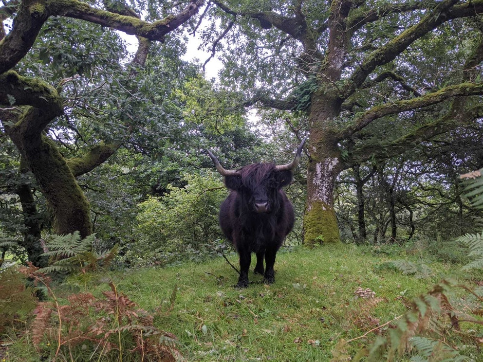 Cattle in woodland 26 08 20