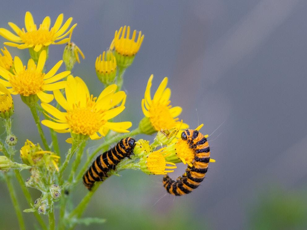 Cinnabar moth on ragwort