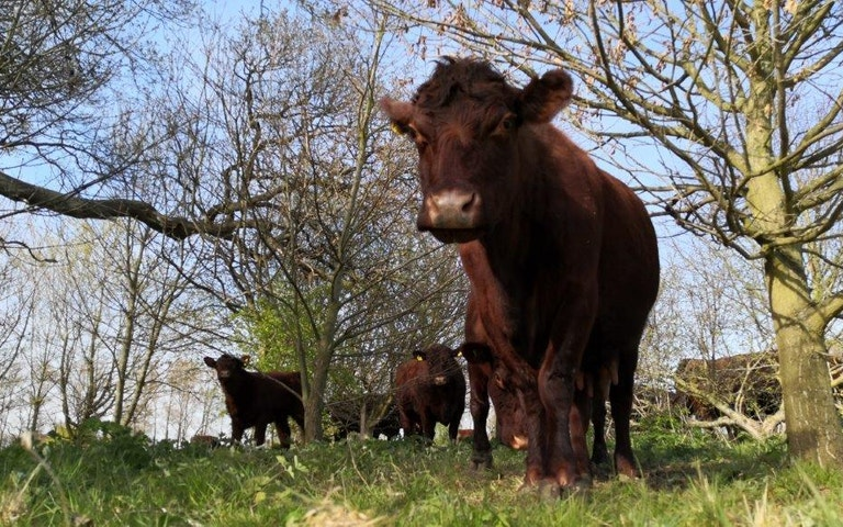 Doddington Hall Lincoln Red cattle