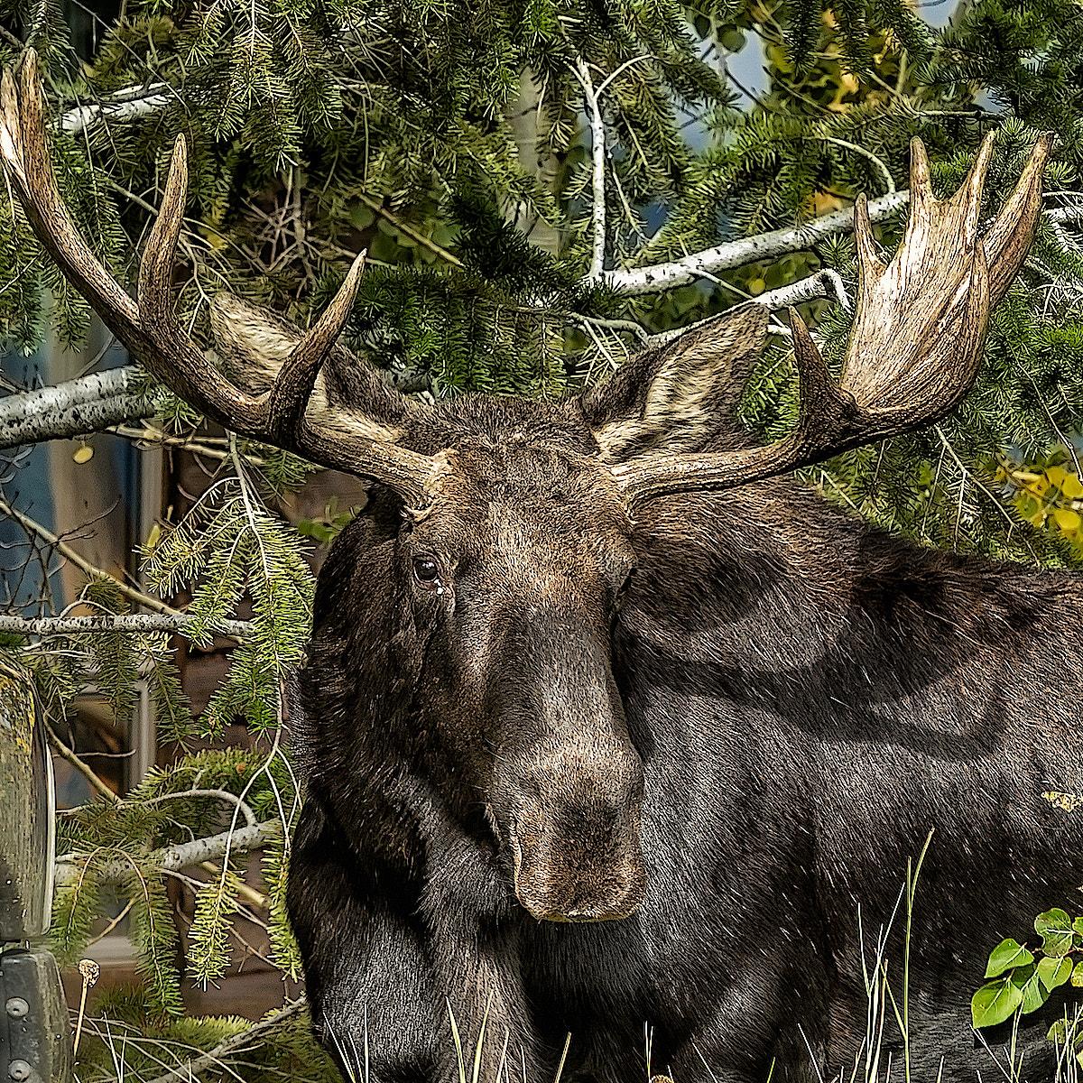Elk portrait WS