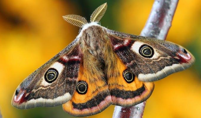 Emporer Moth 1e70c6531e713faba4fa40bacc01ce03