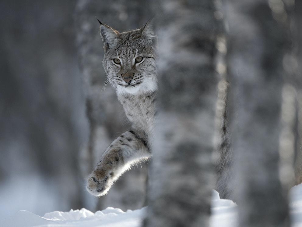 European Lynx Lynx lynx adult female peering out from behind tree in winter birch forest Bardu Norway c scotlandbigpicture com 1