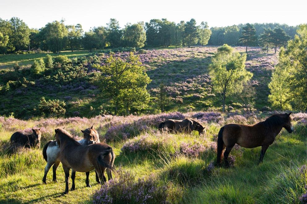 Exmoor ponies at dawn