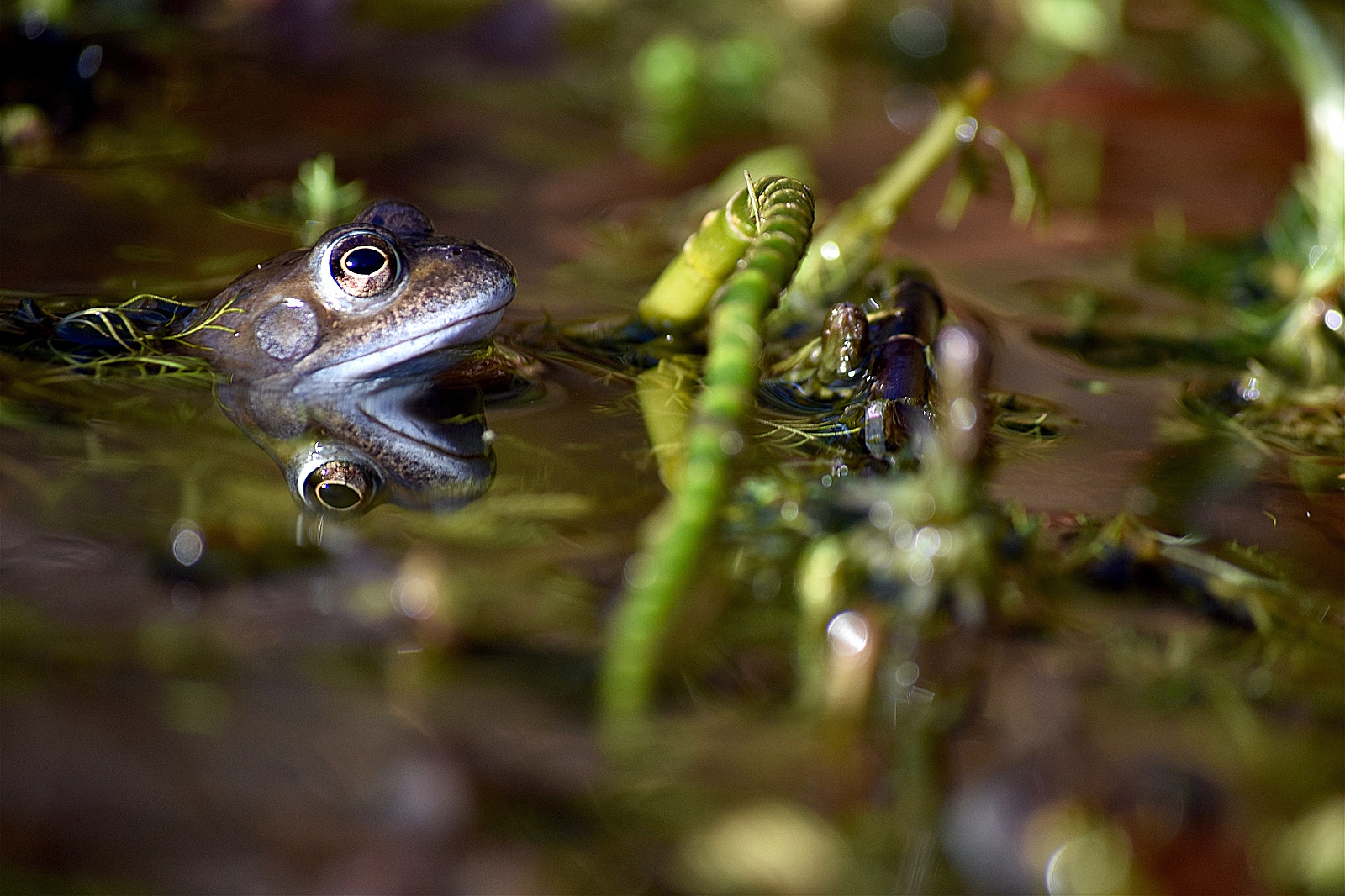 Frog Derbyshire Izzy Bunting
