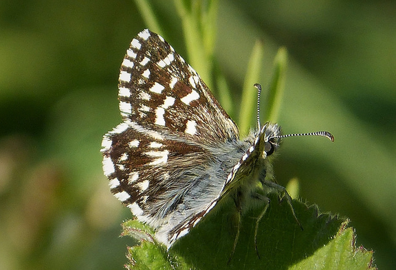 Grizzled Skipper by Flickr user gailhampshire