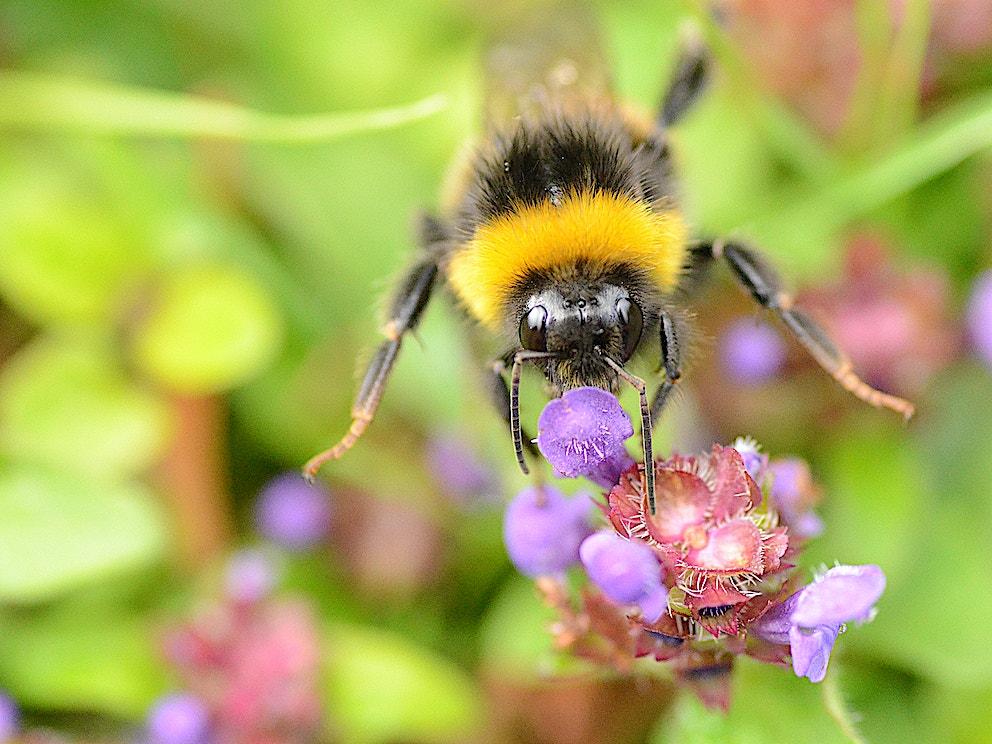 Hero Wild Garden Bee WS 1
