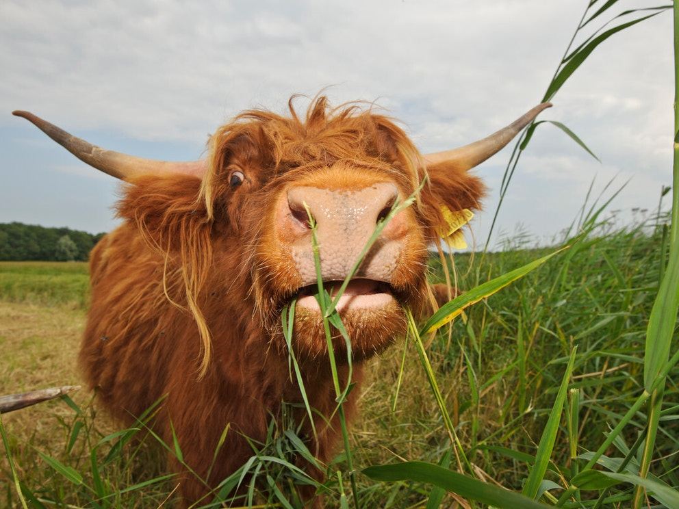 Highland cow in grass