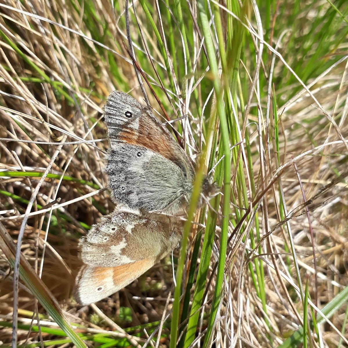 Large Heath Ducan Hutt