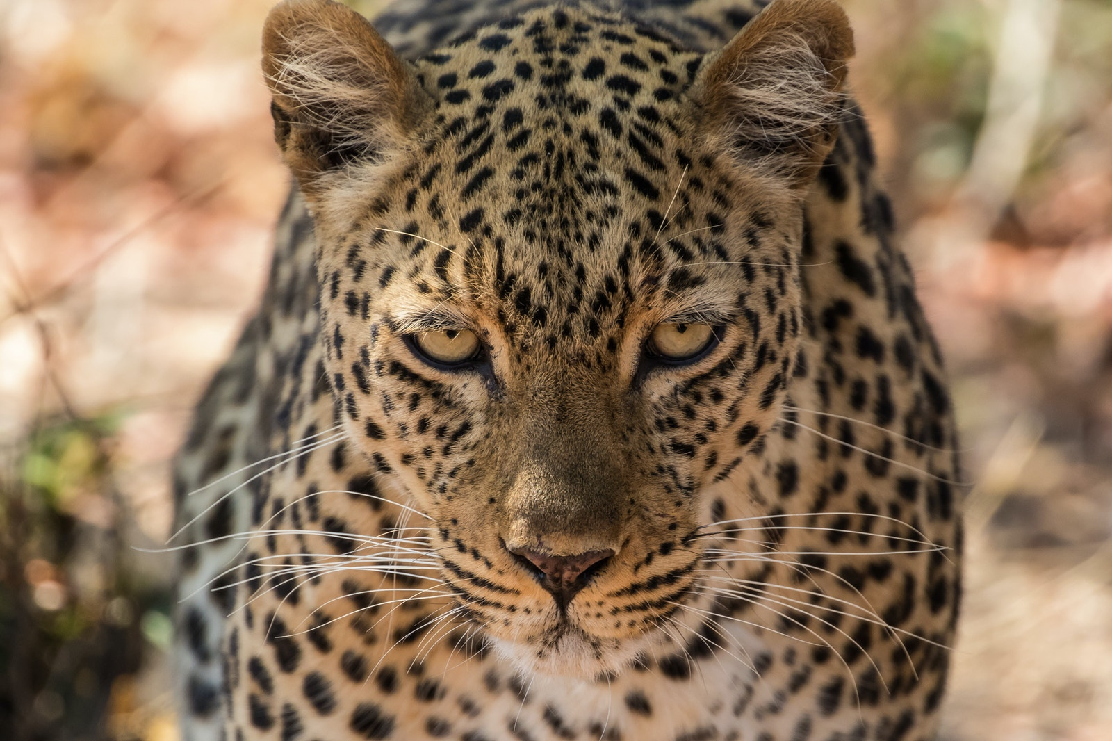 Leopard SS 351381623