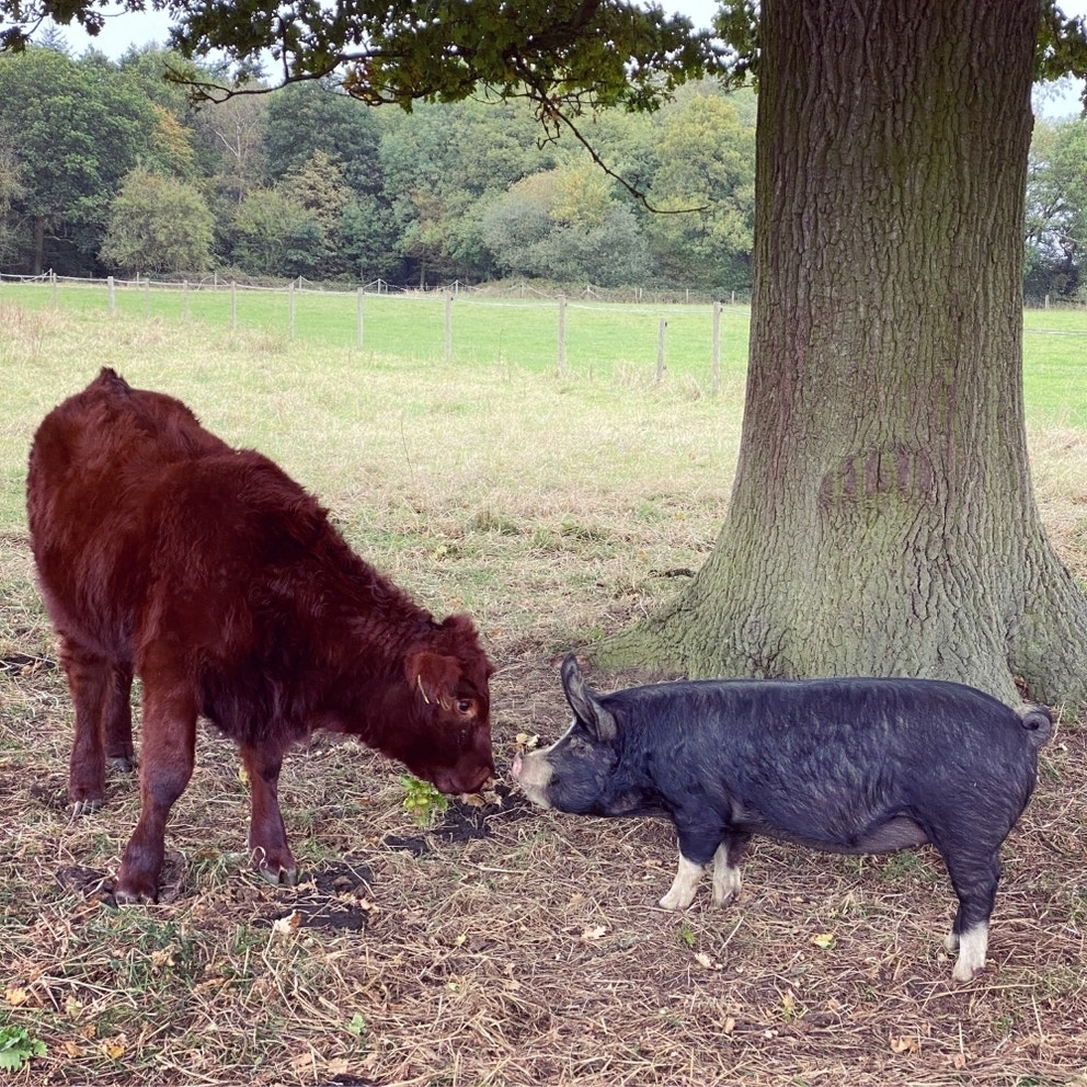 Lincoln Red calf and Berkshire pig meet under a Doddington Oak tree