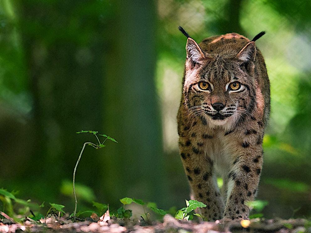 Lynx1 SS 115621942
