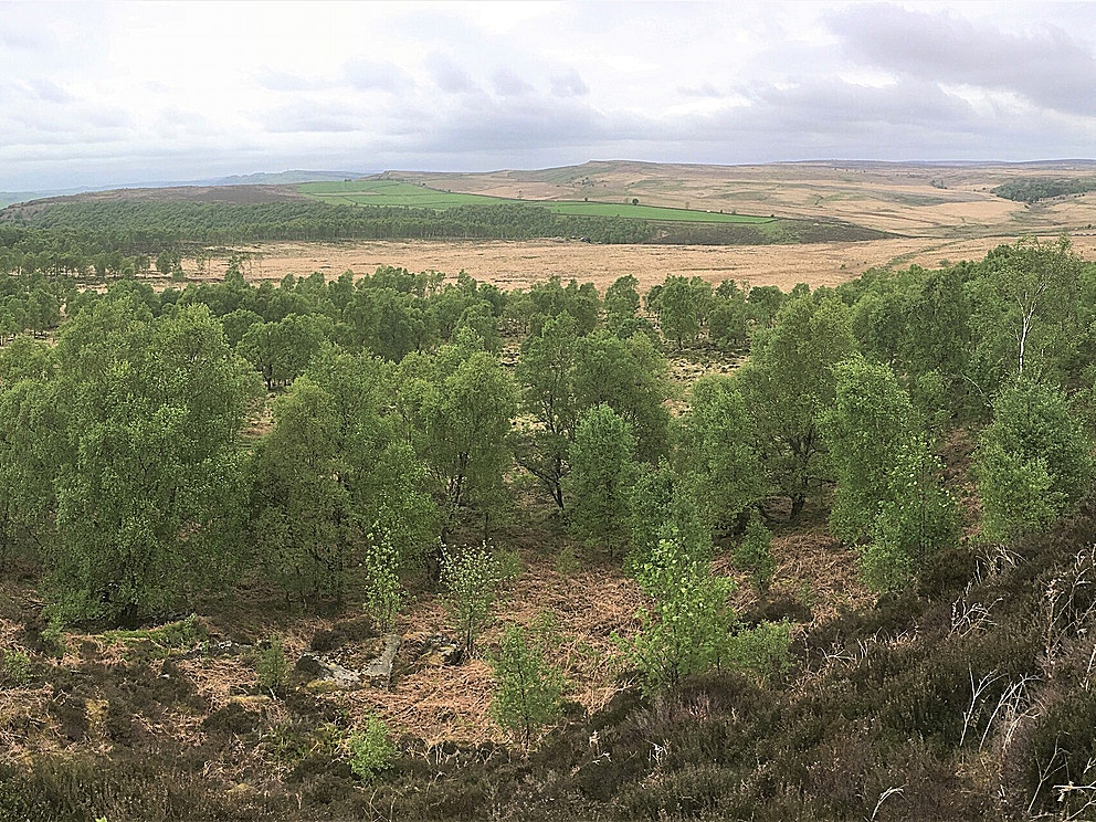 Natural regeneration at Eastern Moors Derbyshire copyright Alastair Driver Rewilding Britain