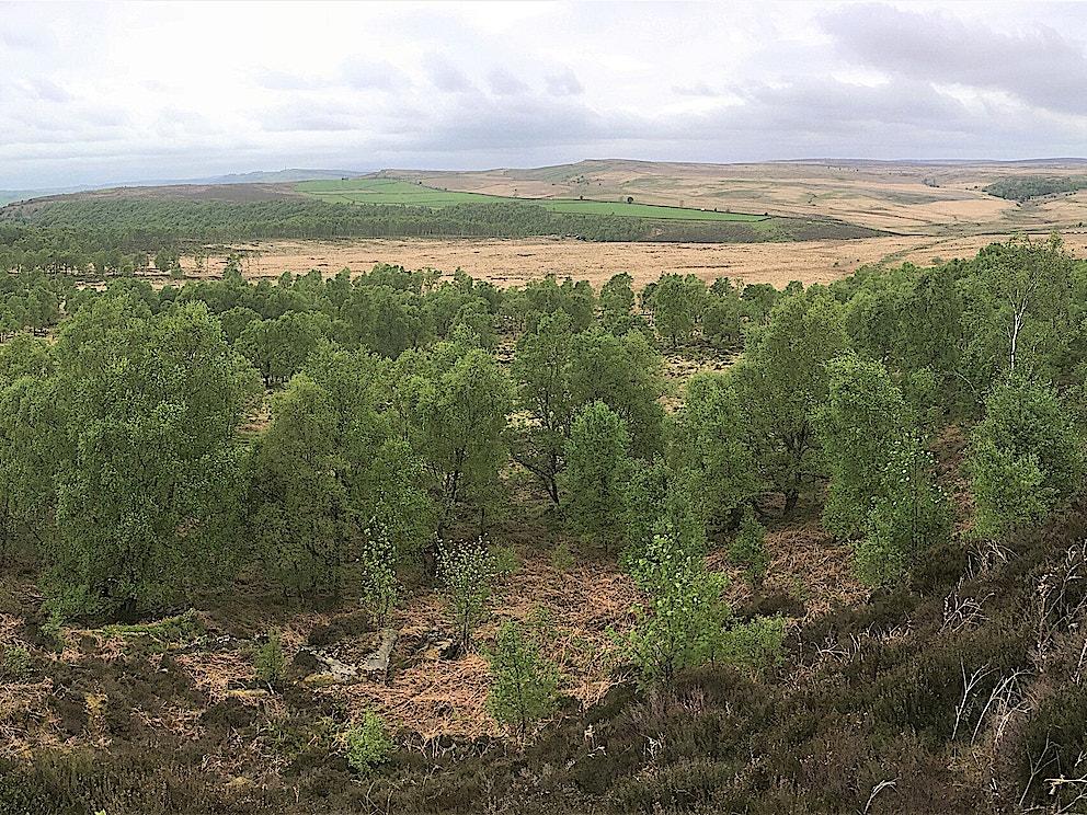 Natural regeneration at Eastern Moors Derbyshire copyright Alastair Driver Rewilding Britain