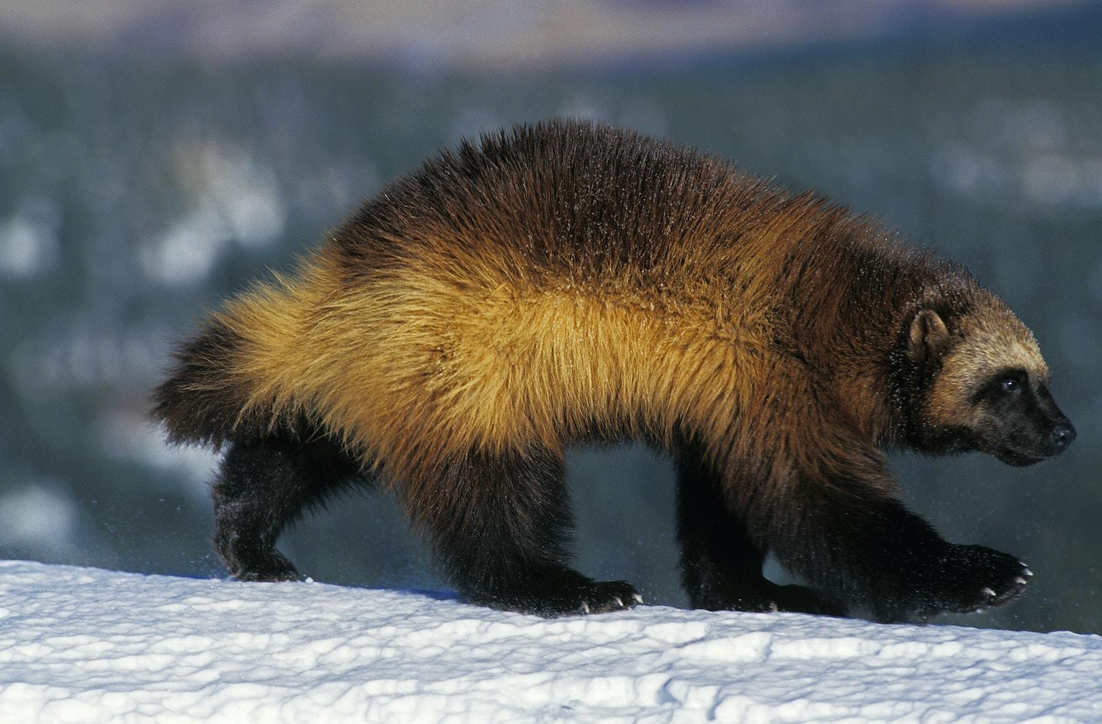 North American Wolverine