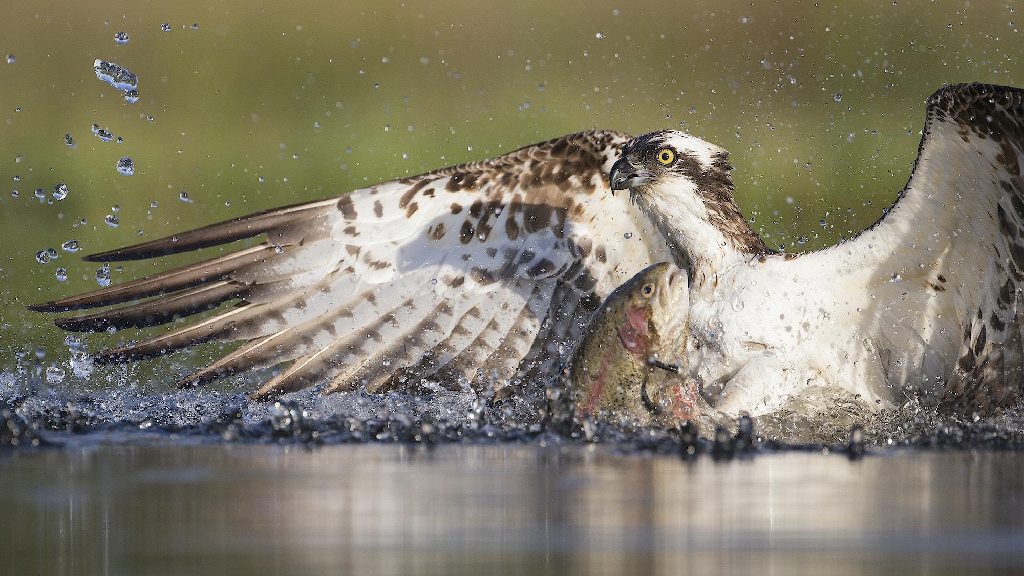 Osprey fishing at dawn Cairngorms National Park Scotland c scotlandbigpicture com