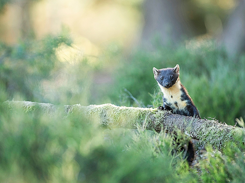 Pine marten in dusk light credit James Roddie scotlandbigpicture com 1