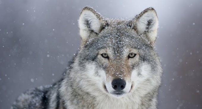 RE Grey Wolf X2 c84dfa4a4c9f82947ef313532da001f9