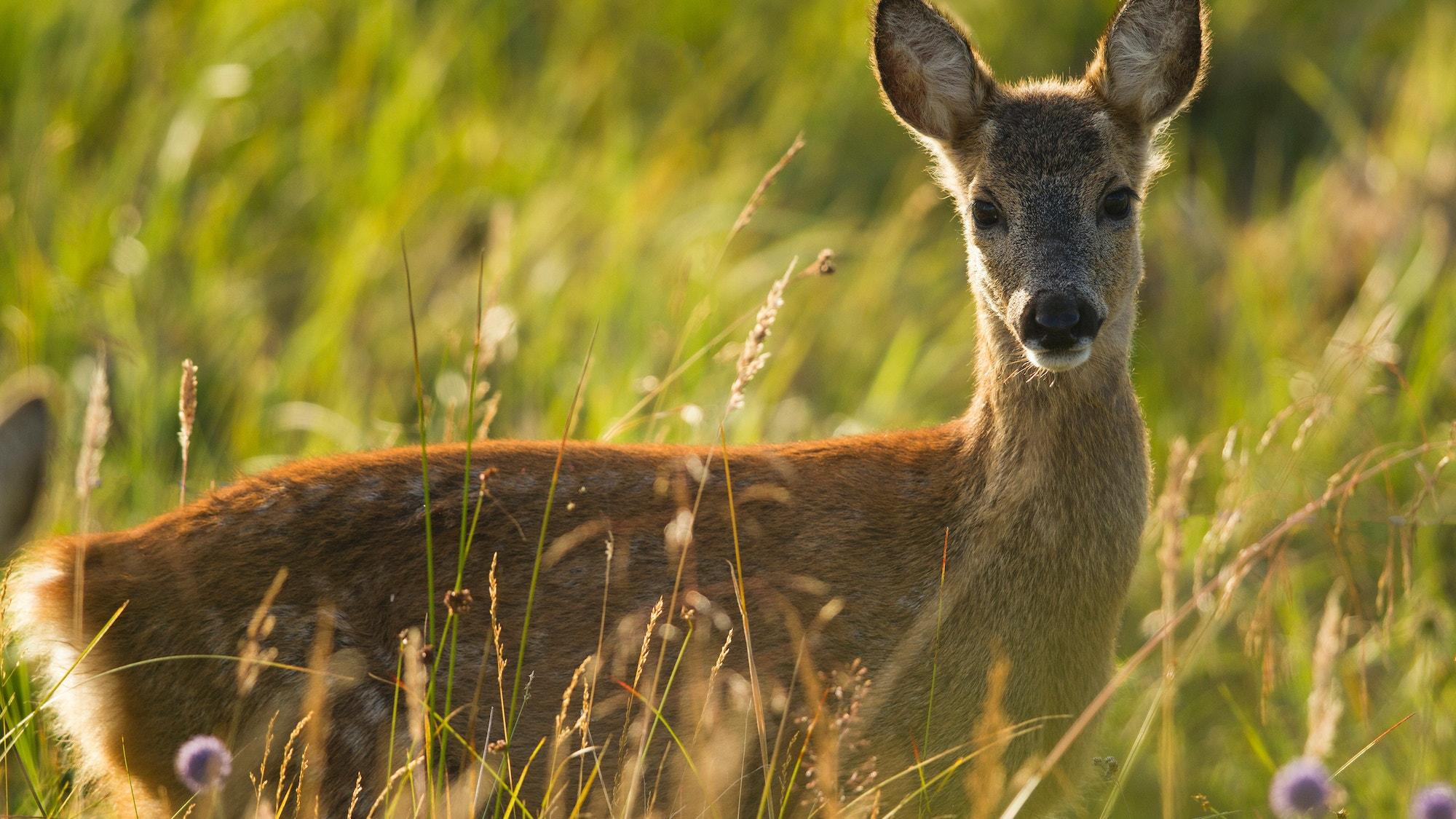 Roe deer SBP MH