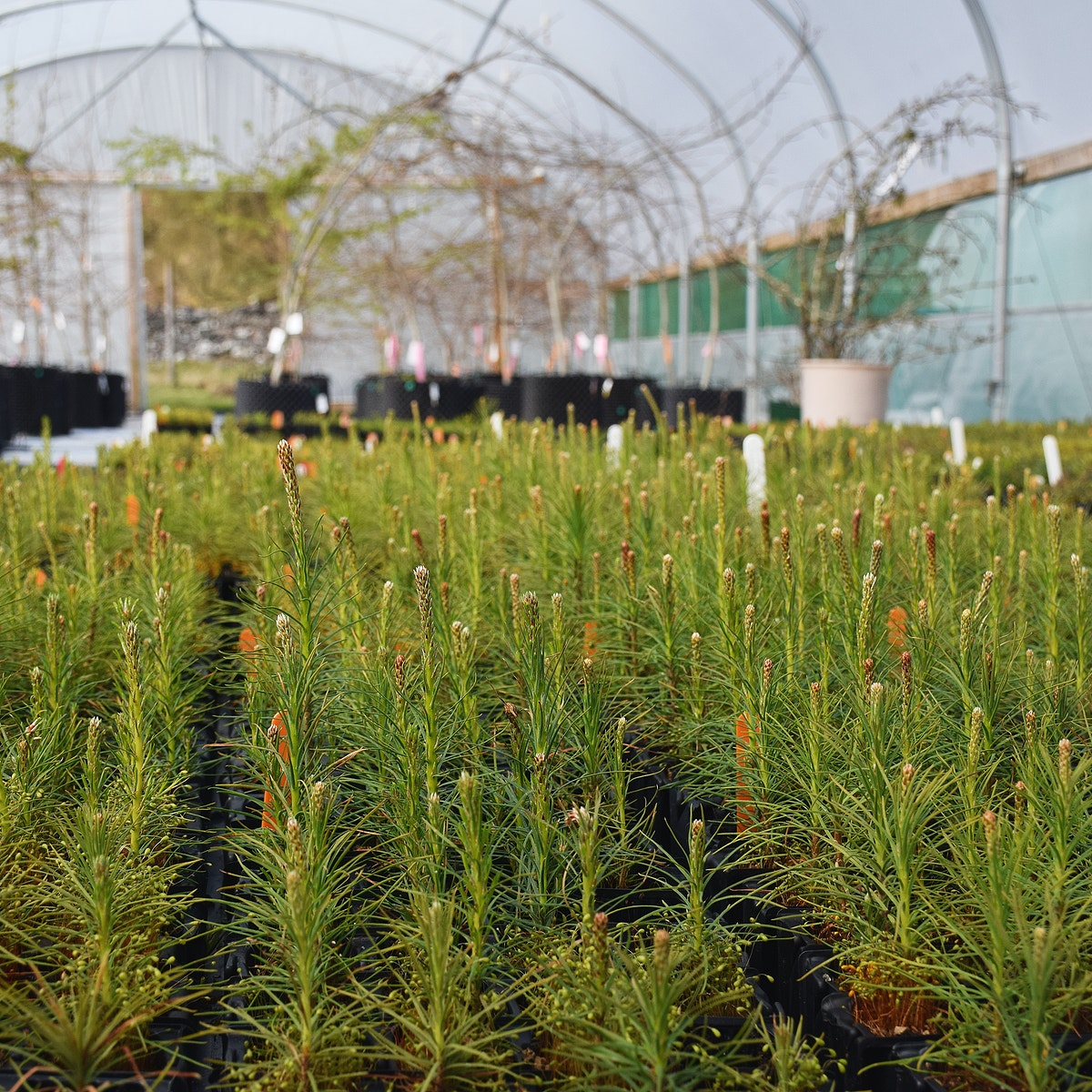 Scots pine growing at Trees for Life polytunnel c Chris Aldridge