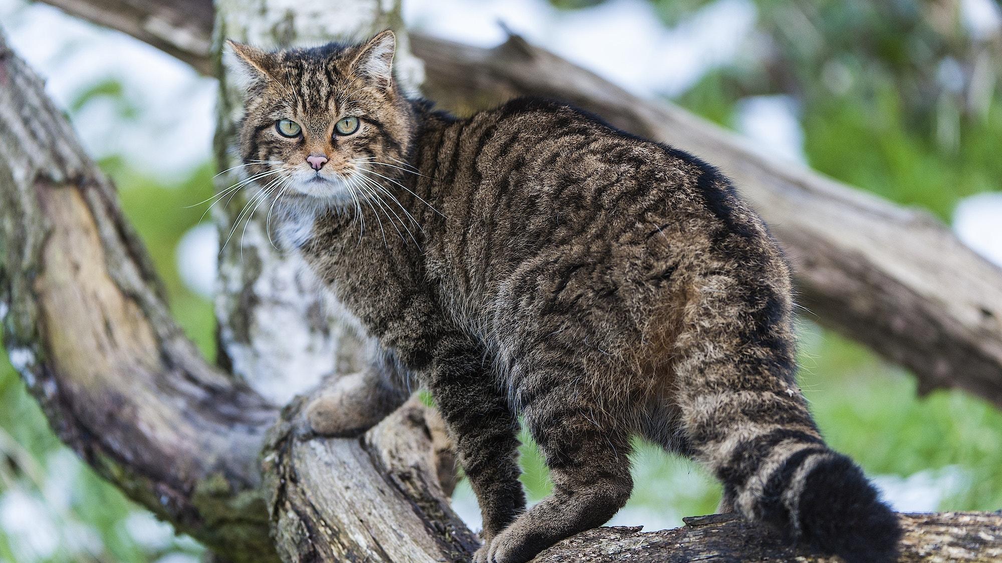 Scottish wild cat Credit Mark Williams Wildscreen Exchange