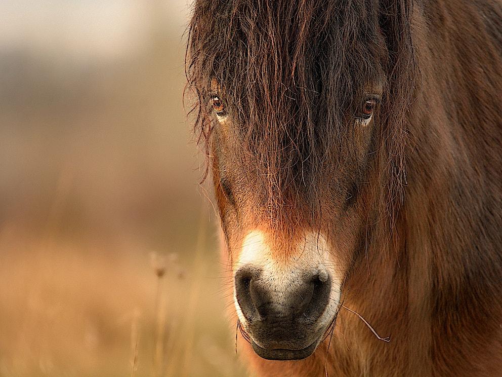 Wild horse1 Exmoor pony SS