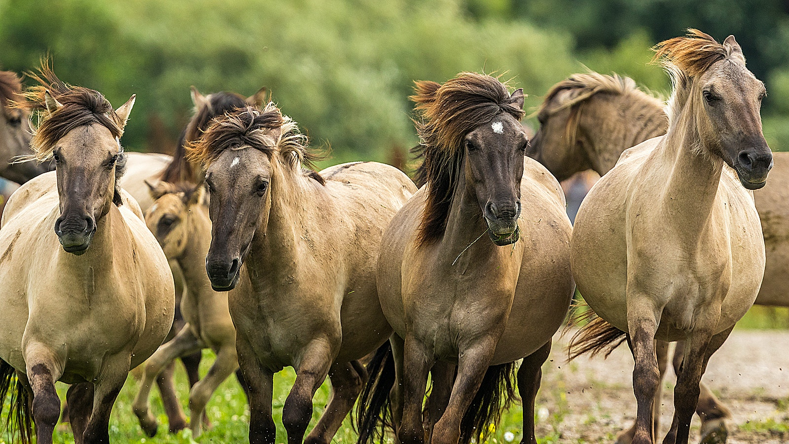 Wild horse2 konik horses SS