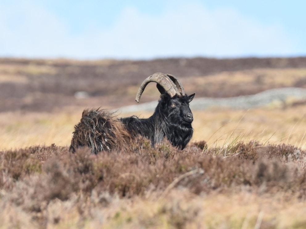 Wild Goat Kevin Cumming