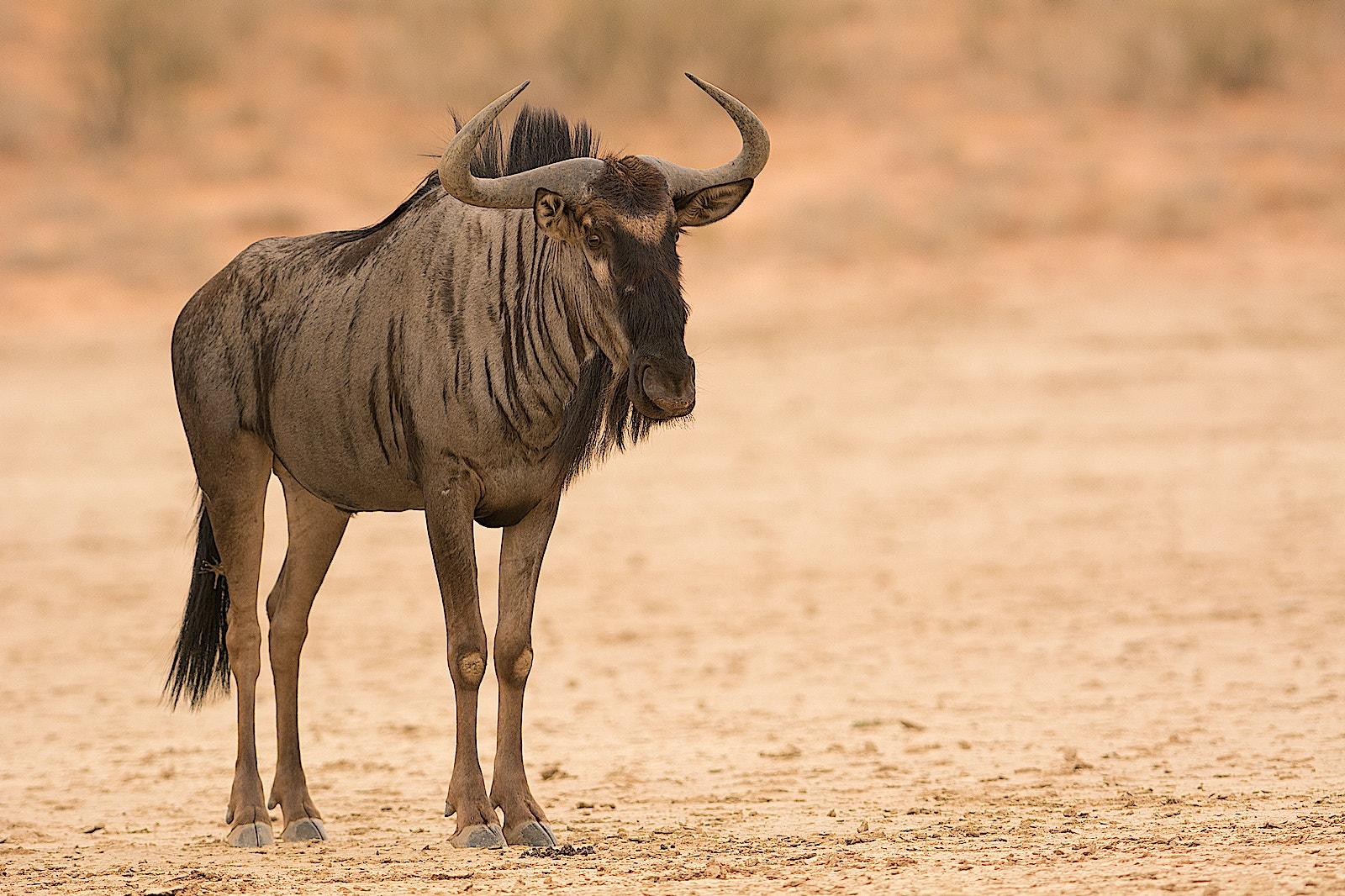 Wildebeest WS