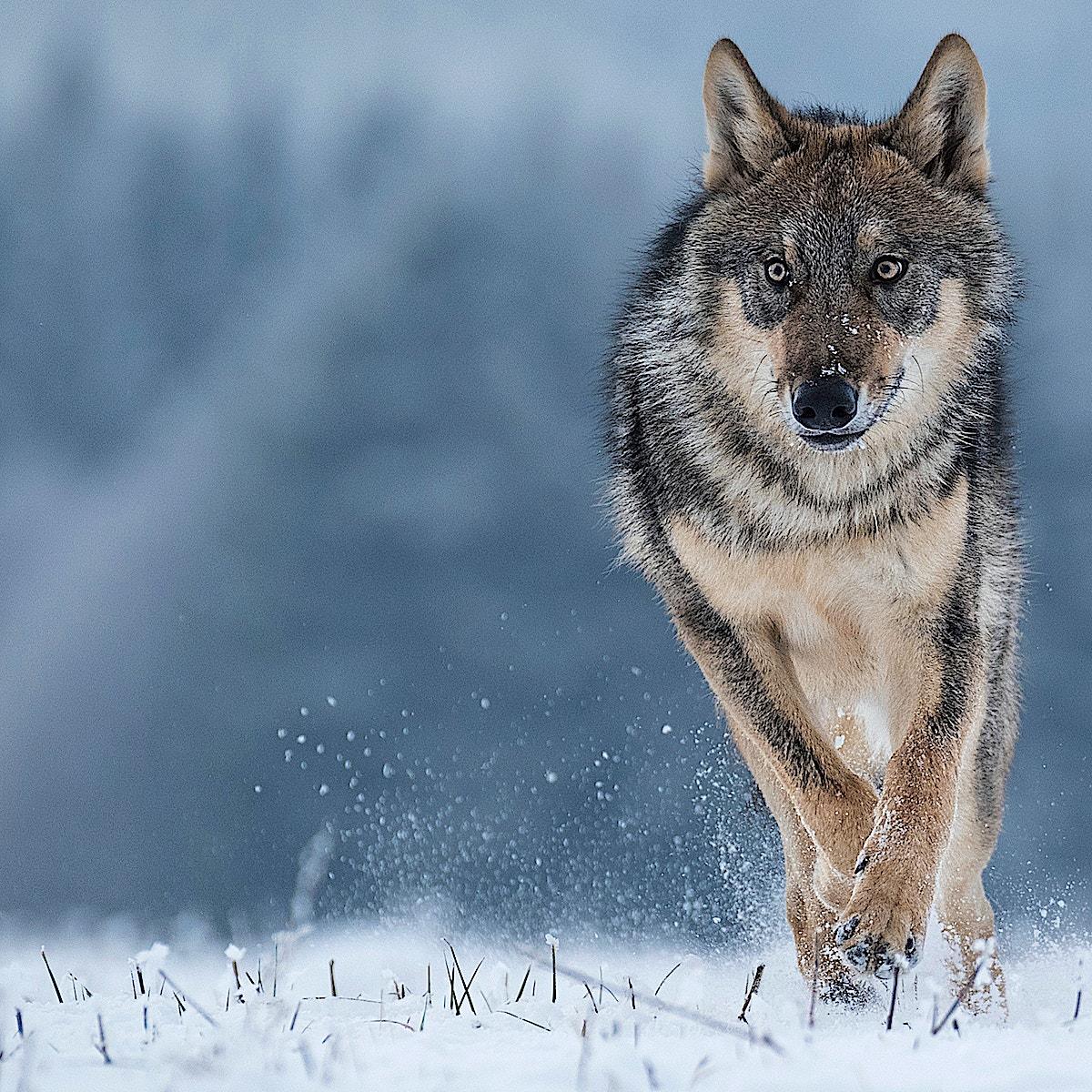 Wolf running portrait SS
