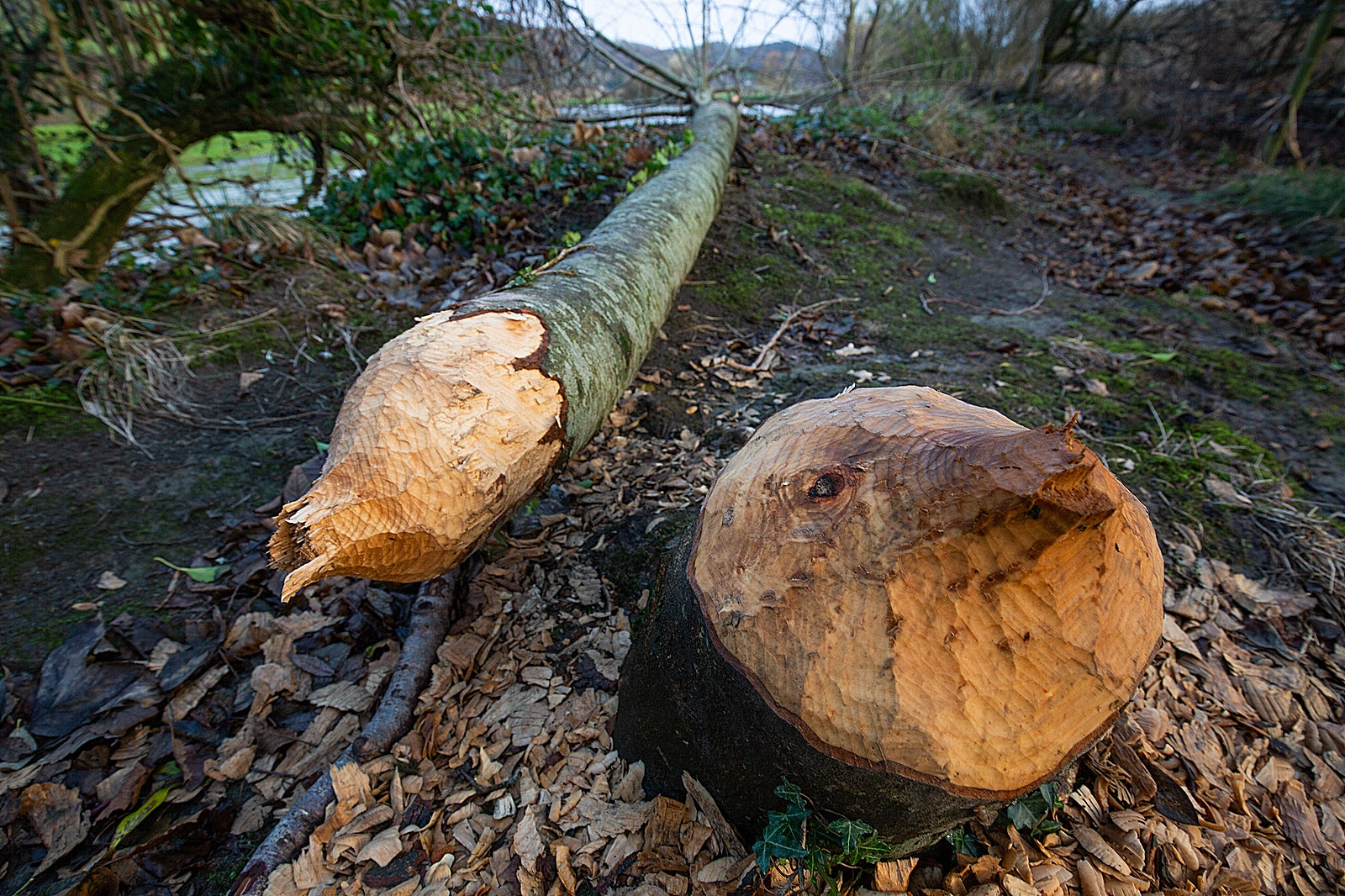 Beaver felled woodland