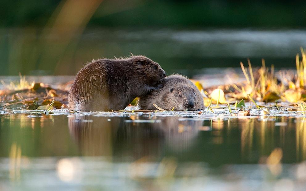 Beaver holding image