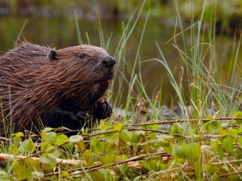 Beaver in wetland vegetation 1 1