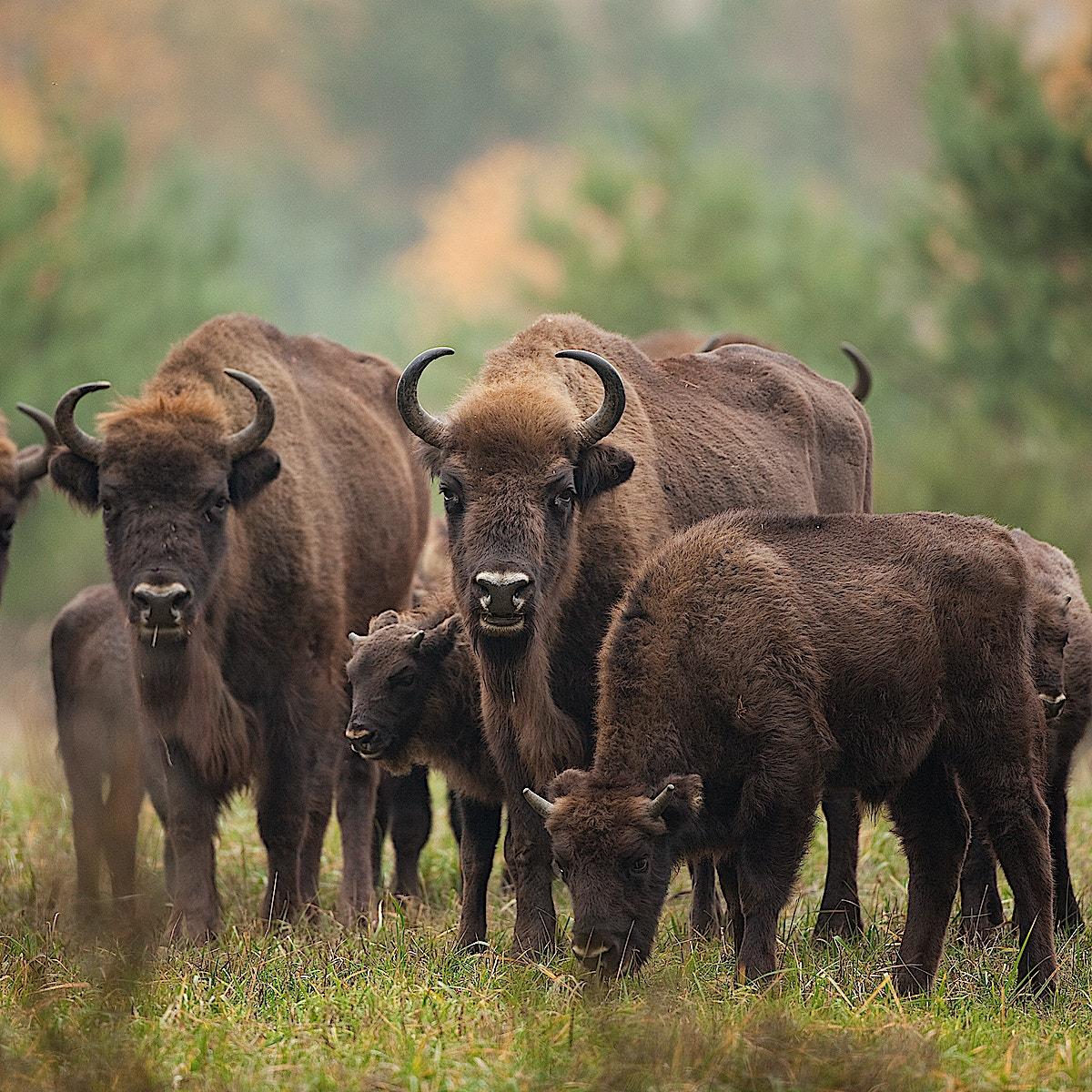 Bison2 herd SS
