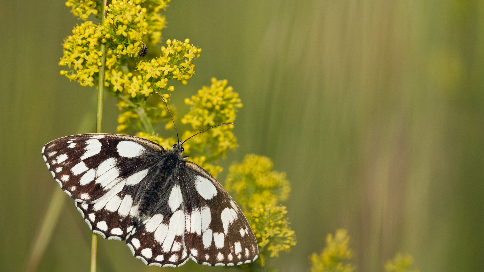 Butterfly mrblwhite SBP GED