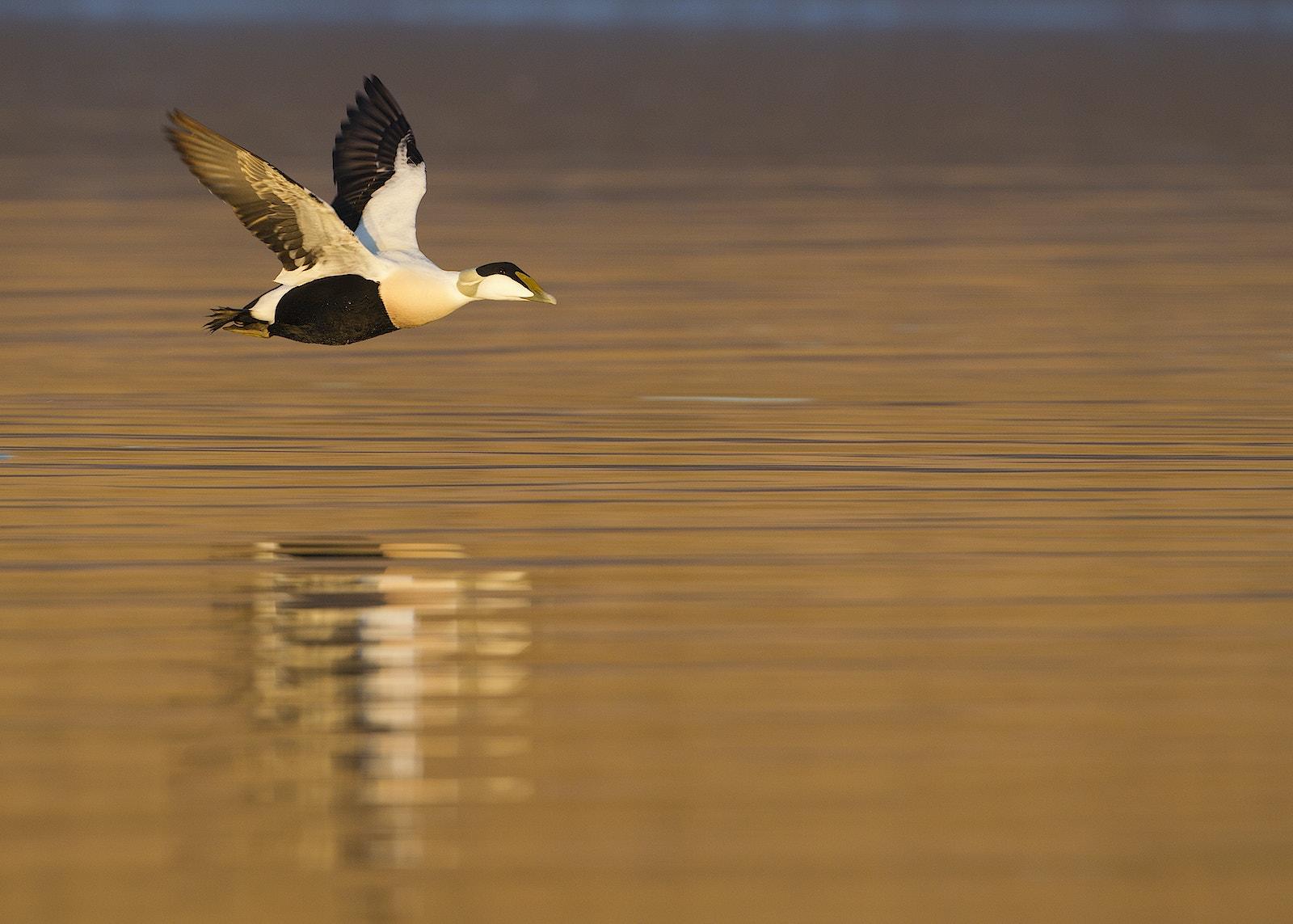 Eider duck migration