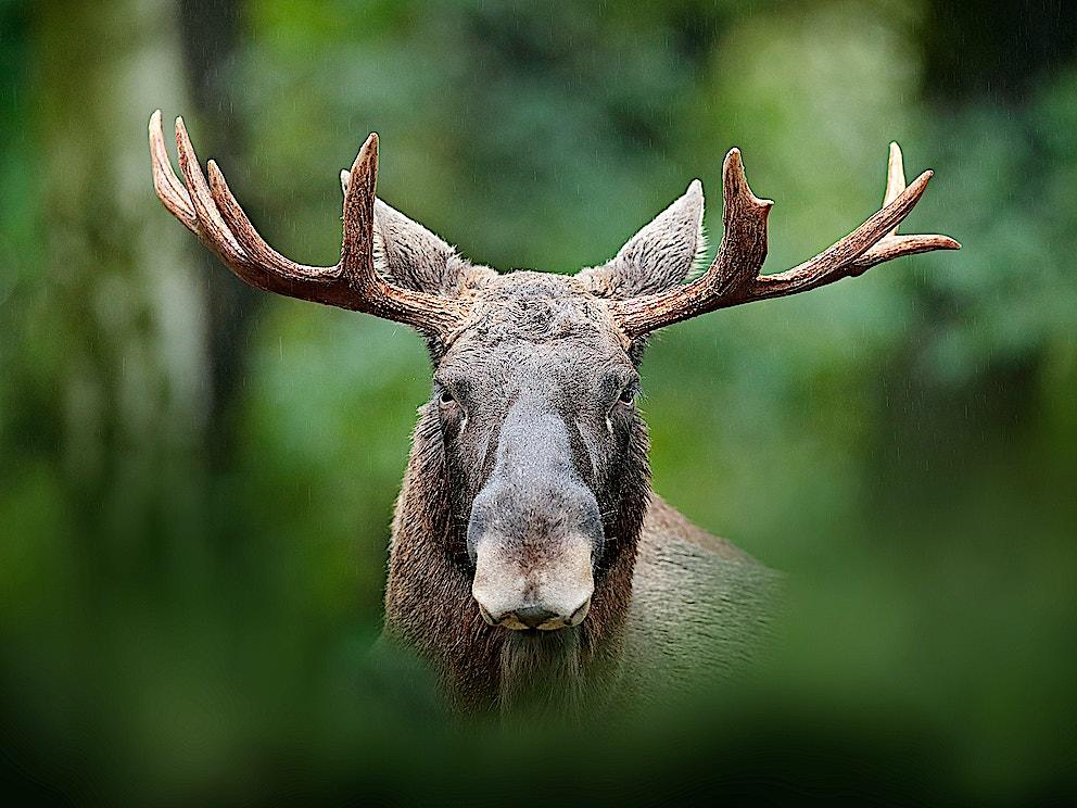 Elk1 SS